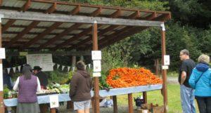 Harvest fair carrot MT